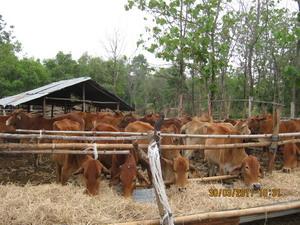 ฟางคอกวัว03